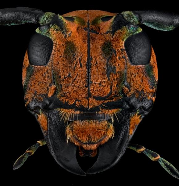 longhorn beetle [Sternotomis chrysopras reducta]-5