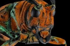 longhorn beetle [Sternotomis chrysopras reducta]-7