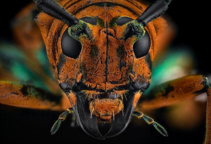 longhorn beetle [Sternotomis chrysopras reducta]-8