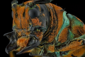 longhorn beetle [Sternotomis chrysopras reducta] Ebogo Cameroon-2
