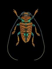 longhorn-beetle-Sternotomis-chrysopras-reducta-Ebogo-Cameroon-3