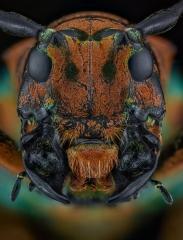 longhorn beetle [Sternotomis chrysopras reducta] Ebogo Cameroon