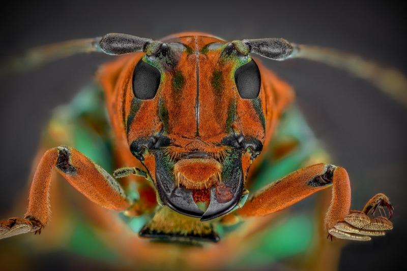 longhorn beetle [Sternotomis chrysopras reducta]