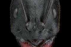 Streblognathus aethiopicus South Africa