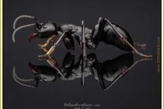 Streblognathus-aethiopicus-worker-7Smith-F.-1858