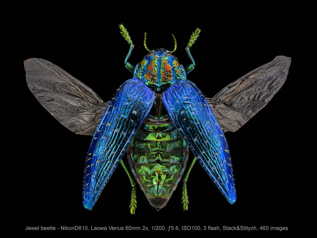 Jewel-beetle