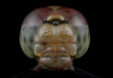 female-Common-darter-Sympetrum-striolatum-UK-2