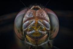 male-Common-darter-Sympetrum-striolatum-UK-4