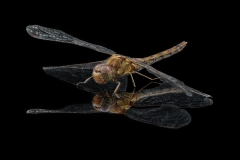 Common-darter-Sympetrum-striolatum-UK-2