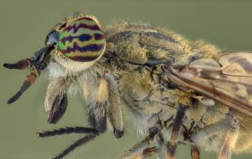 horse fly-[Tabanidae]-2