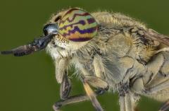 horse fly-[Tabanidae]-3