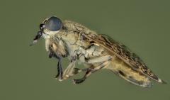 horse fly-[Tabanidae]-4