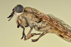 horse fly-[Tabanidae]-5