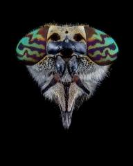 horse fly-[Tabanidae] - UK