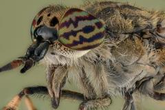 horse fly-[Tabanidae]