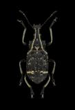 Tachyerges-salicis-Madagascar