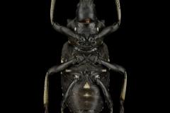 Tachyerges-salicis-Madagascar2