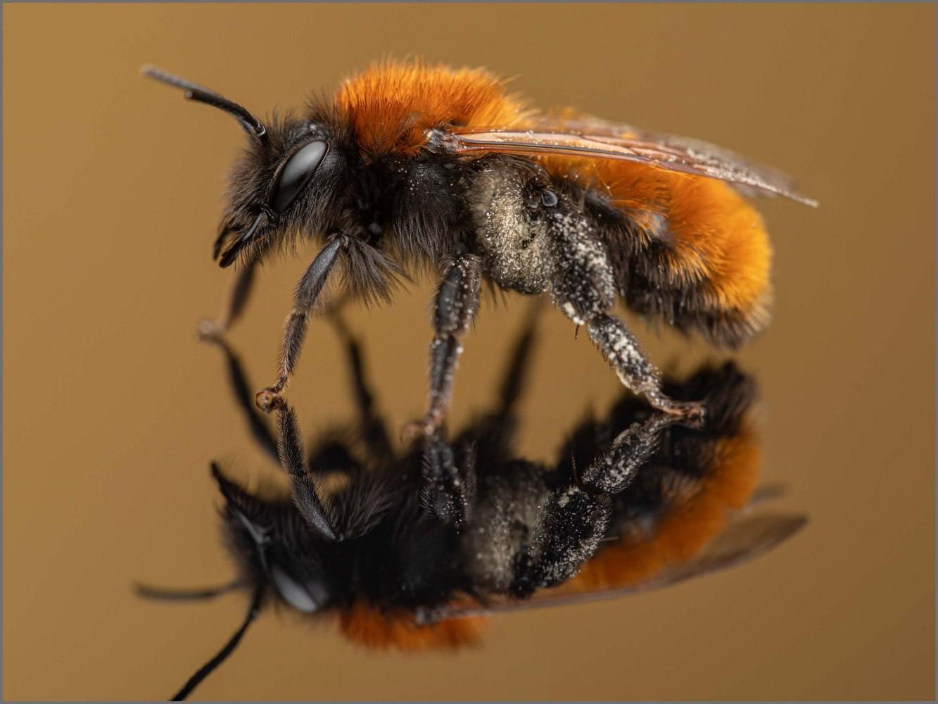 Andrena-fulva-female-Muller-1766-1