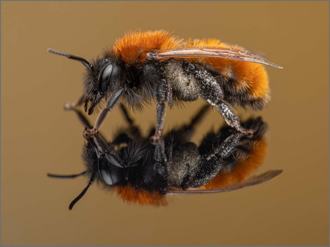 Andrena-fulva-female-Muller-1766-2