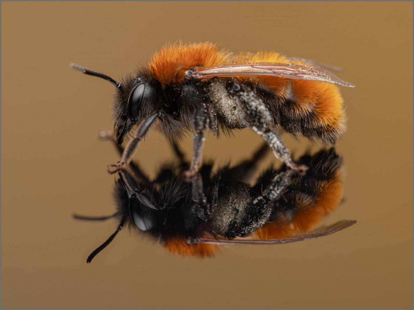 Andrena-fulva-female-Muller-1766-3