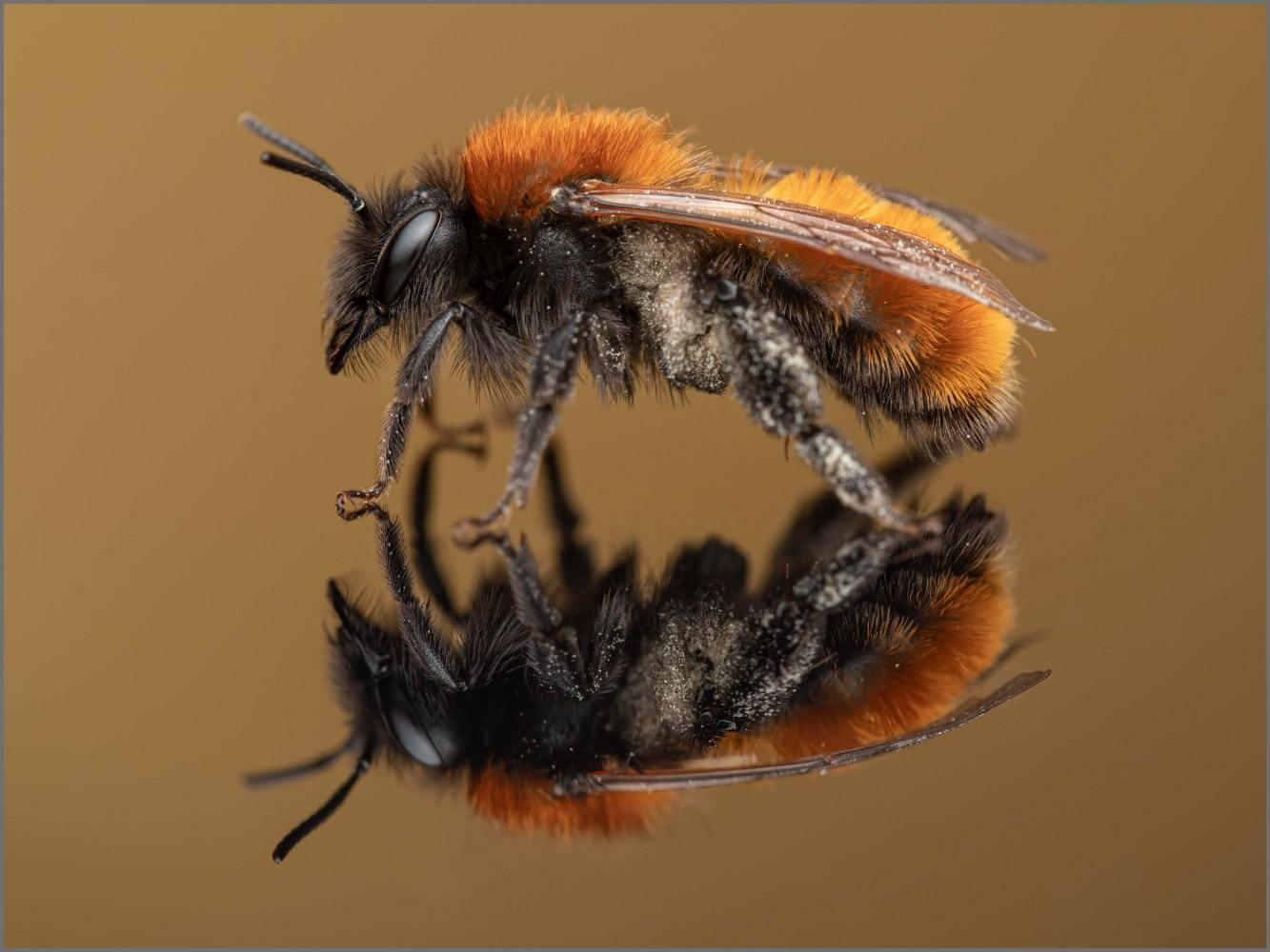 Andrena-fulva-female-Muller-1766-4