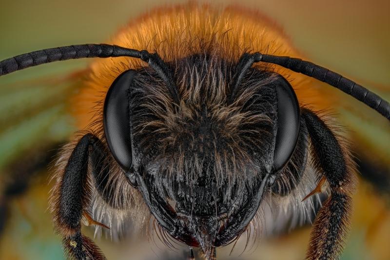 tawny mining bee [Andrena fulva]