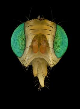 fruit-fly-Tephritidae-UK