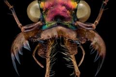 Tetracha spixii opulenta - Bolivia-2