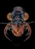 Therates coracinus coracinus - Philipines-2