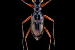 Therates coracinus coracinus - Philipines