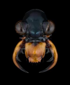 Therates-labiatus-Papua-New-Guinea-2