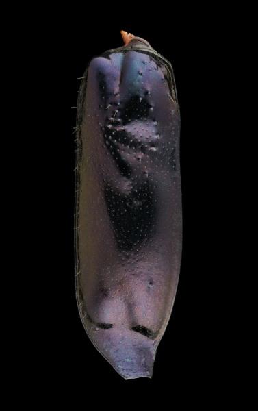 Therates-labiatus-Papua-New-Guinea