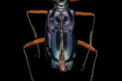 Therates-labiatus-Papua-New-Guinea-3