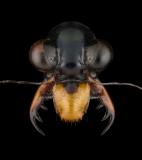 Therates-latreillei-pseudobipunctatus-Indonesia