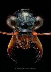 Thopeutica (Wallacedela) nishiyamai - Sulawesi Indonesia-2