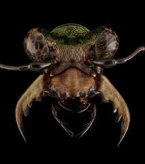 Chaetotaxis macropus -Madagascar-5