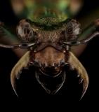 tiger-beetle-Madagascar-6