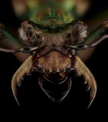 Chaetotaxis macropus -Madagascar-6