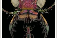 Cicindela-scutellaris-lecontei-Haldeman-1853