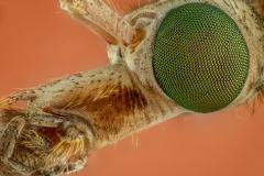 European crane fly [Tipula paludosa] UK10