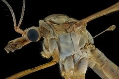 European crane fly [Tipula paludosa] UK12