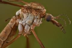 European crane fly [Tipula paludosa] UK2