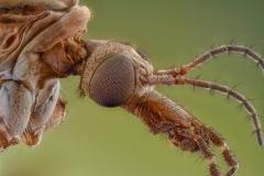 European crane fly [Tipula paludosa] UK3