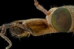 European crane fly [Tipula paludosa] UK8