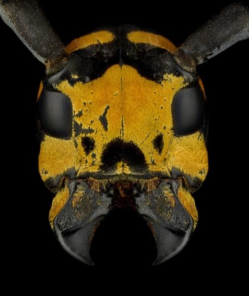 Tragocephala-jucunda-Madagascar