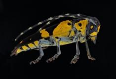 longhorn beetle [Tragocephala jucunda]-2