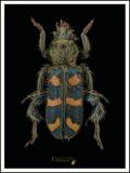 Trichodes-flavocinctus-Spinola-1844