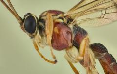 Ichneumon wasp [Tromatobia lineatoria]-3