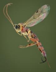Ichneumon wasp [Tromatobia lineatoria]