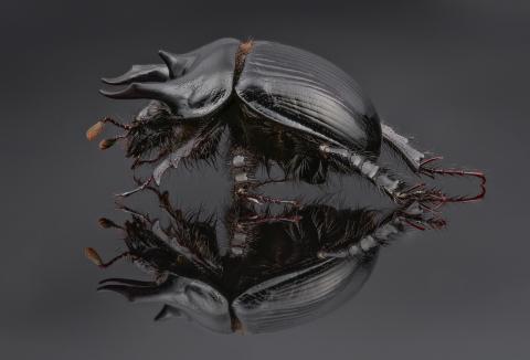 Minotaur beetle - [Typhaeus typhoeus] - UK